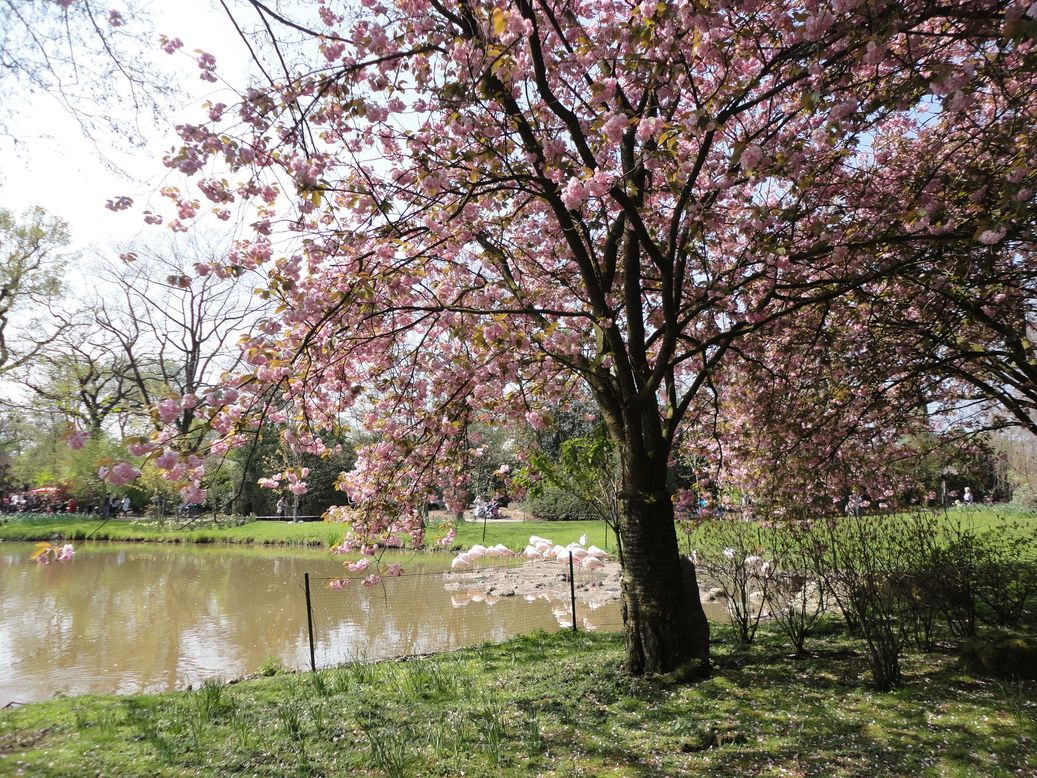 Pink. Cherry blossoms and flamingos, Hagenbeck Tierpark, Hamburg, Germany