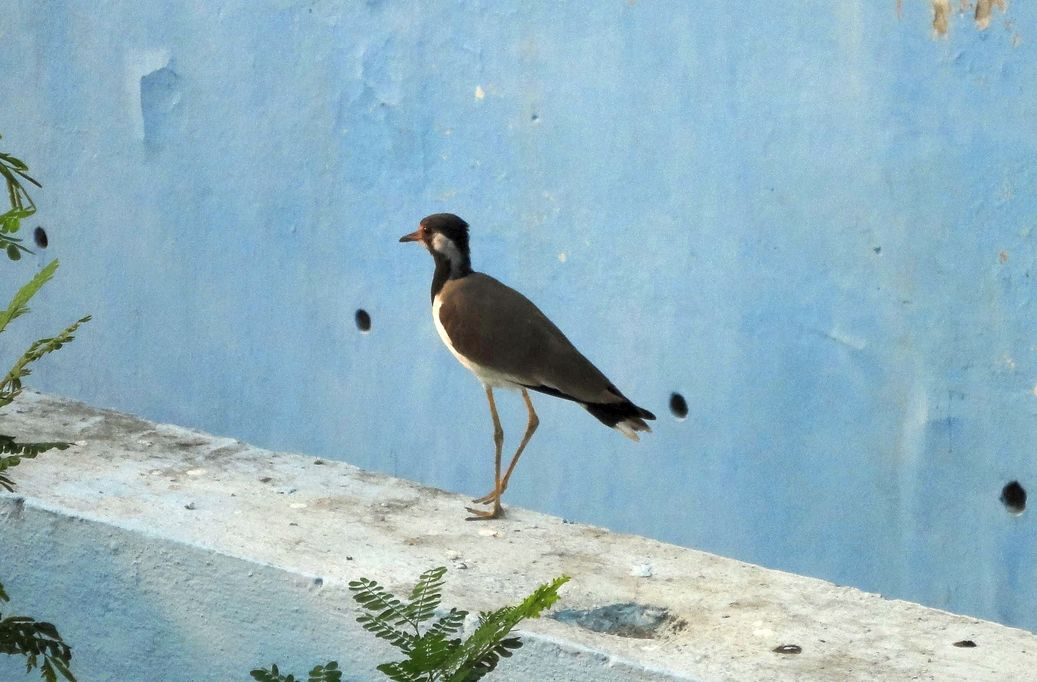 And some bird-watching. Red wattled lapwing, Pipliyapala Regional Park, Indore, India