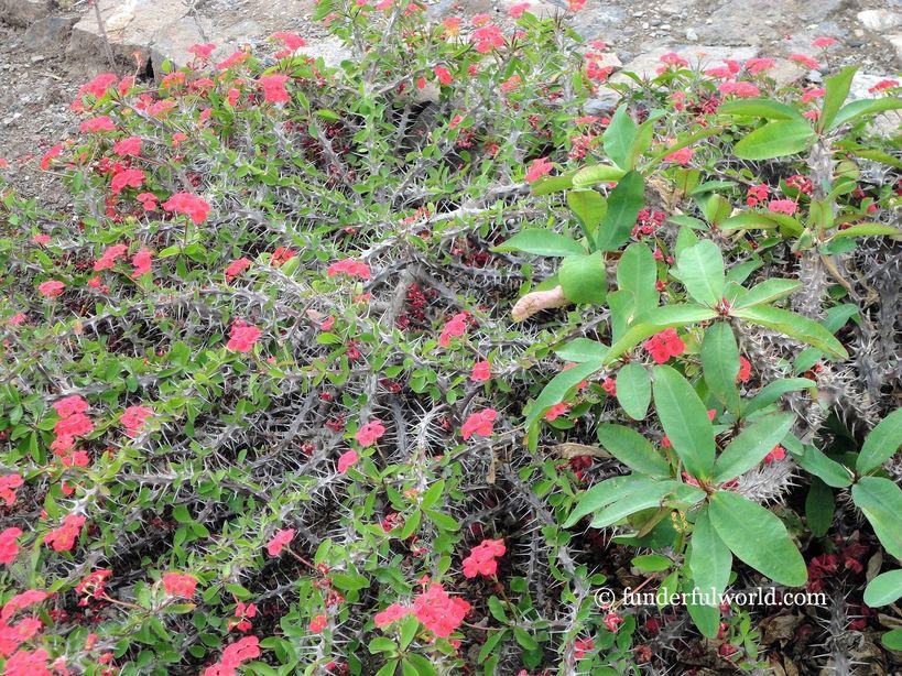 Cactii. Himalayan Botanical Garden, Nainital, India